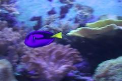 aquarium lighting(0.0), coral reef(1.0), animal(1.0), coral(1.0), purple(1.0), coral reef fish(1.0), organism(1.0), marine biology(1.0), invertebrate(1.0), marine invertebrates(1.0), underwater(1.0), reef(1.0), pomacentridae(1.0), sea anemone(1.0),