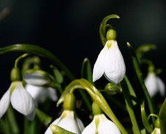 flower(1.0), yellow(1.0), galanthus nivalis(1.0), macro photography(1.0), flora(1.0), green(1.0),