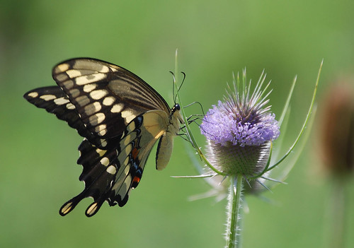 butterfly insect swallowtail giantswallowtail
