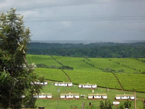 africa tea kenya plantation kericho