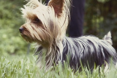dog breed, animal, dog, australian silky terrier, vulnerable native breeds, biewer terrier, cairn terrier, australian terrier, carnivoran, yorkshire terrier, terrier,