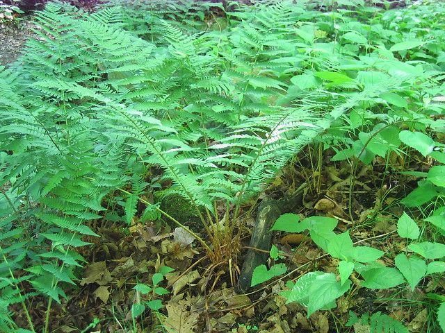 Marginal Wood Fern