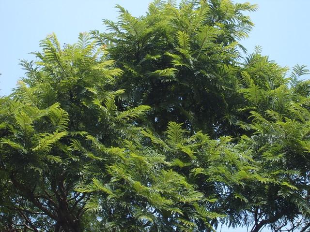 Jacaranda Leaves  by  Jacaranda Tree Leaves