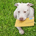 White Puppy Dog Kahuna Luna has a job, First Class Special Delivery Doggy Express Mail Delivery