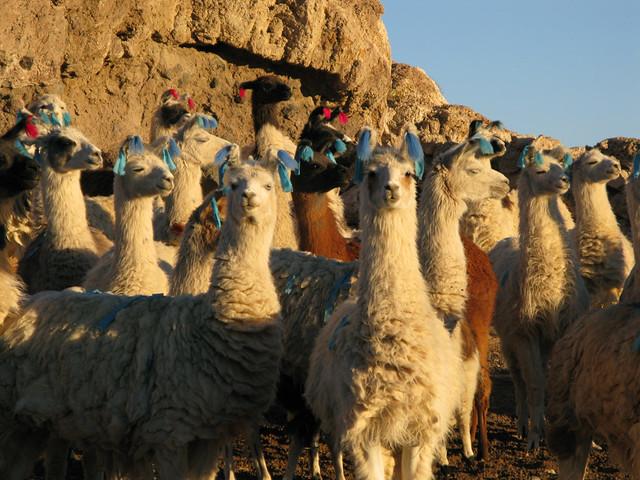 Llamas with 'cute' hair
