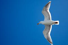 albatross(0.0), gannet(0.0), animal(1.0), suliformes(1.0), charadriiformes(1.0), wing(1.0), european herring gull(1.0), beak(1.0), bird(1.0), seabird(1.0),