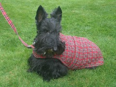 dog breed, animal, dog, schnoodle, pet, standard schnauzer, vulnerable native breeds, schnauzer, cesky terrier, miniature schnauzer, carnivoran, scottish terrier, terrier,
