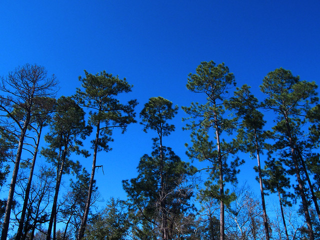 Gulf Shores Trees