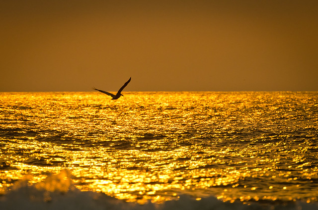 Pelican by Sunrise