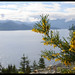 "Golden ""broom"" @ Howe Sound"