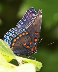 red spotted purple maybe 2