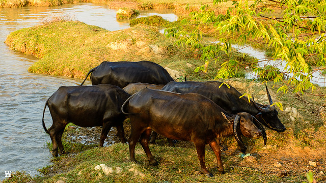 Buffalo in late afternoon - Trâu ơi!