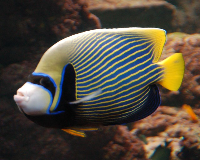 Yellow and black tropical fish