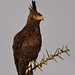 Long-crested Eagle searching for prey IMG_8512