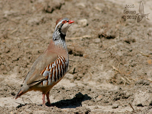 Perdiz comum - Alectoris rufa - Red-legged Partridge