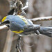 Golden-winged Warbler - Photo (c) Jerry Oldenettel, some rights reserved (CC BY-NC-SA)