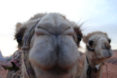 animal, snout, mammal, head, fauna, close-up, camel, arabian camel,