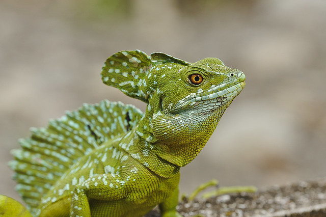 Green Basilisk Lizard (Basiliscus basiliscus)   Flickr ...