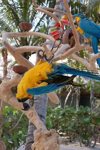 parrot training, blue and gold macaws, training macaws, training blue and gold macaws, Ara ararauna