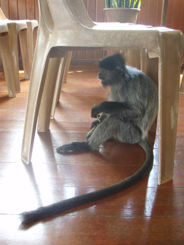 Monkey under a chair