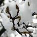 Calicantus buds after the springtime snow
