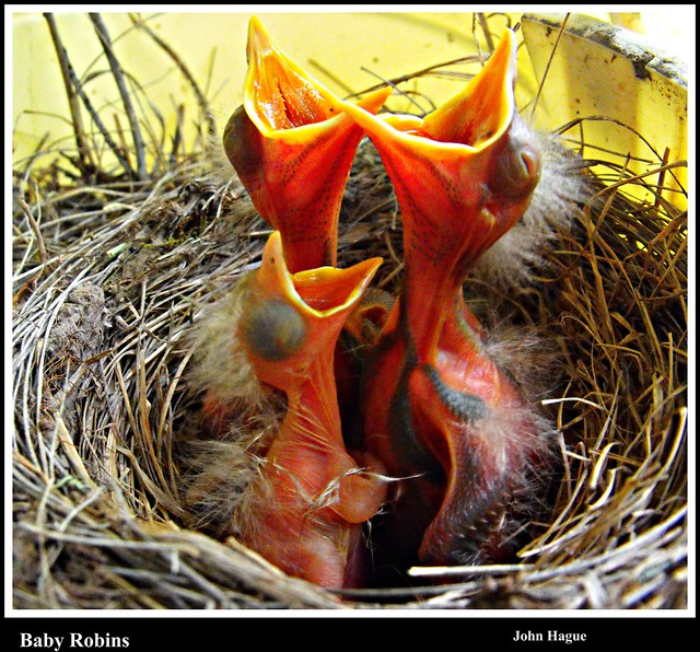 Baby Robins have arrived !!