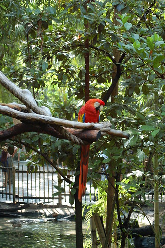 parrot training, training macaws, scarlet macaws, training scarlet macaws