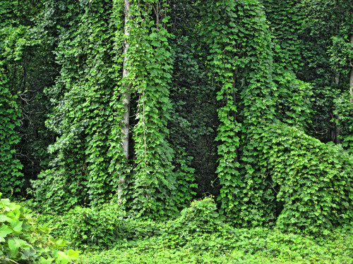 Kudzu, The Vine That Ate the South