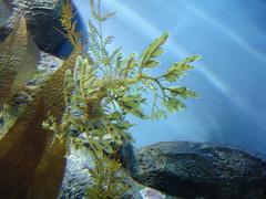 DSC01671-Leafy Sea Dragon