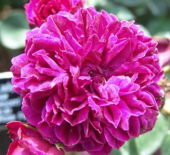 carnation(1.0), annual plant(1.0), dahlia(1.0), rosa 㗠centifolia(1.0), flower(1.0), purple(1.0), plant(1.0), flora(1.0), peony(1.0), pink(1.0), petal(1.0),