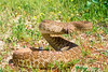 "<a href=""http://www.flickr.com/photos/40043136@N03/3682889946/"">Photo of Crotalus ruber by acorbit</a>"