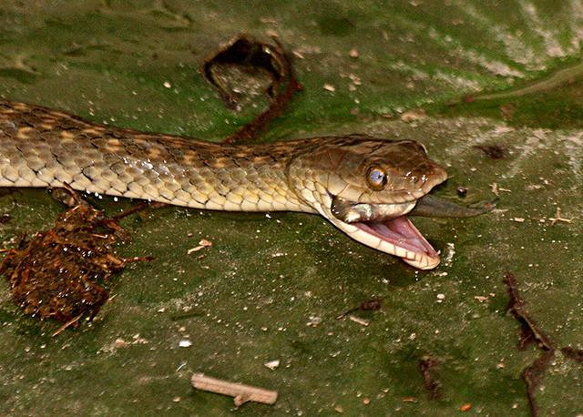 Snake eating fish explored flickr photo sharing for Snake eating fish