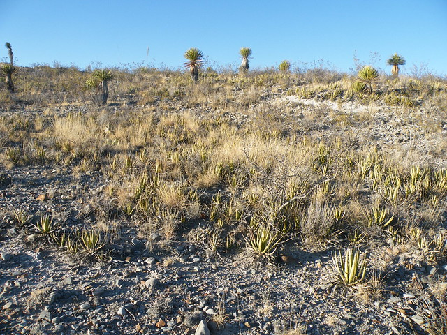 Header of Agave lechuguilla