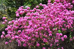 shrub, flower, plant, lilac, flora, azalea,