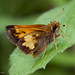 Hobomok Skipper - Photo (c) Kent McFarland, some rights reserved (CC BY-NC)