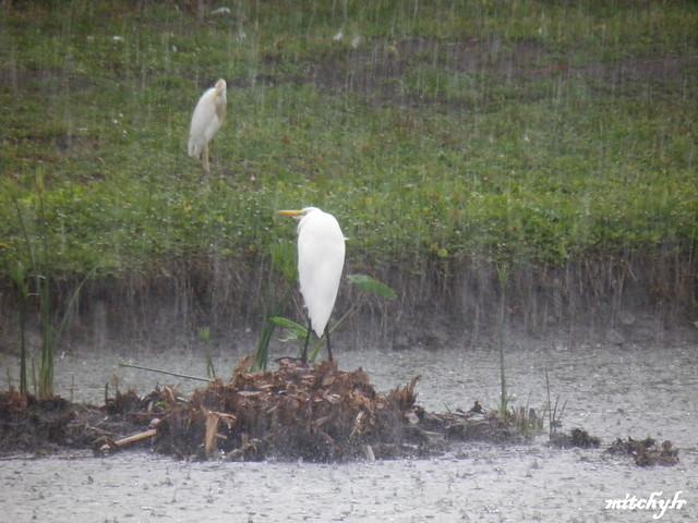 Herons In The Rain