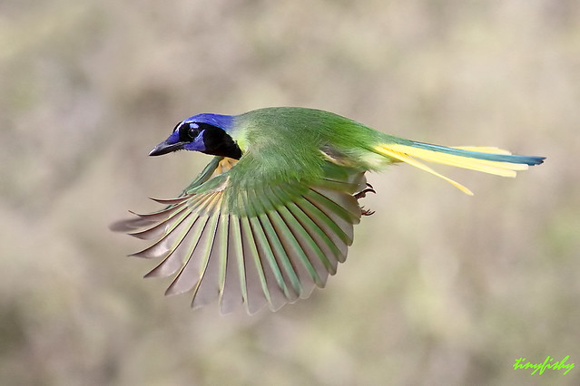 Improved Green Jay From Texas Flickr Photo Sharing