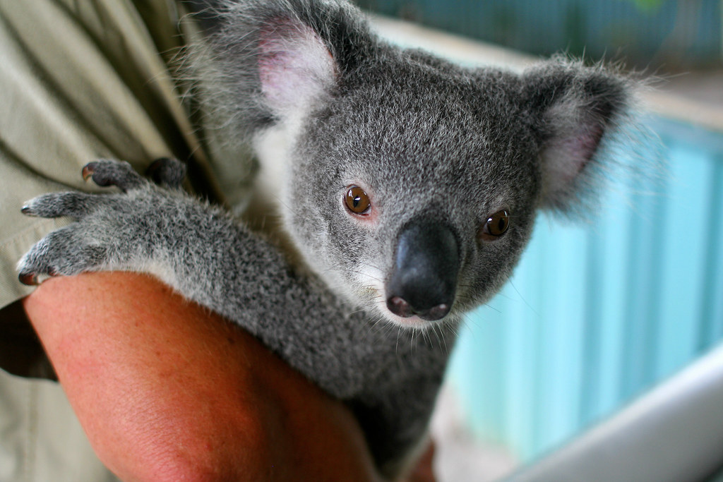 9 Terrifying Facts About Koalas A Miserable And Hateful Animal