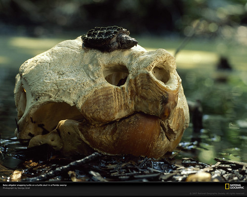 "National Geographic  :: ""Baby alligator snapping turtle on a turtle skull in Florida Swamp.""  ..photo by George Grail (( 1999 ))"