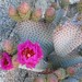 beavertail cactus - Photo (c) Robert Garcia, some rights reserved (CC BY-NC-SA)
