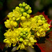 Oregon grape - Photo (c) James Gaither, some rights reserved (CC BY-NC-ND)