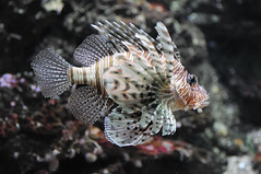 animal(1.0), fish(1.0), marine biology(1.0), macro photography(1.0), fauna(1.0), close-up(1.0), lionfish(1.0), scorpionfish(1.0), underwater(1.0), reef(1.0),