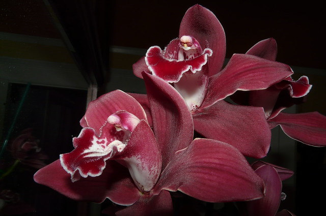 Cymbidium Red Sox 'Windermere' hybrid orchid