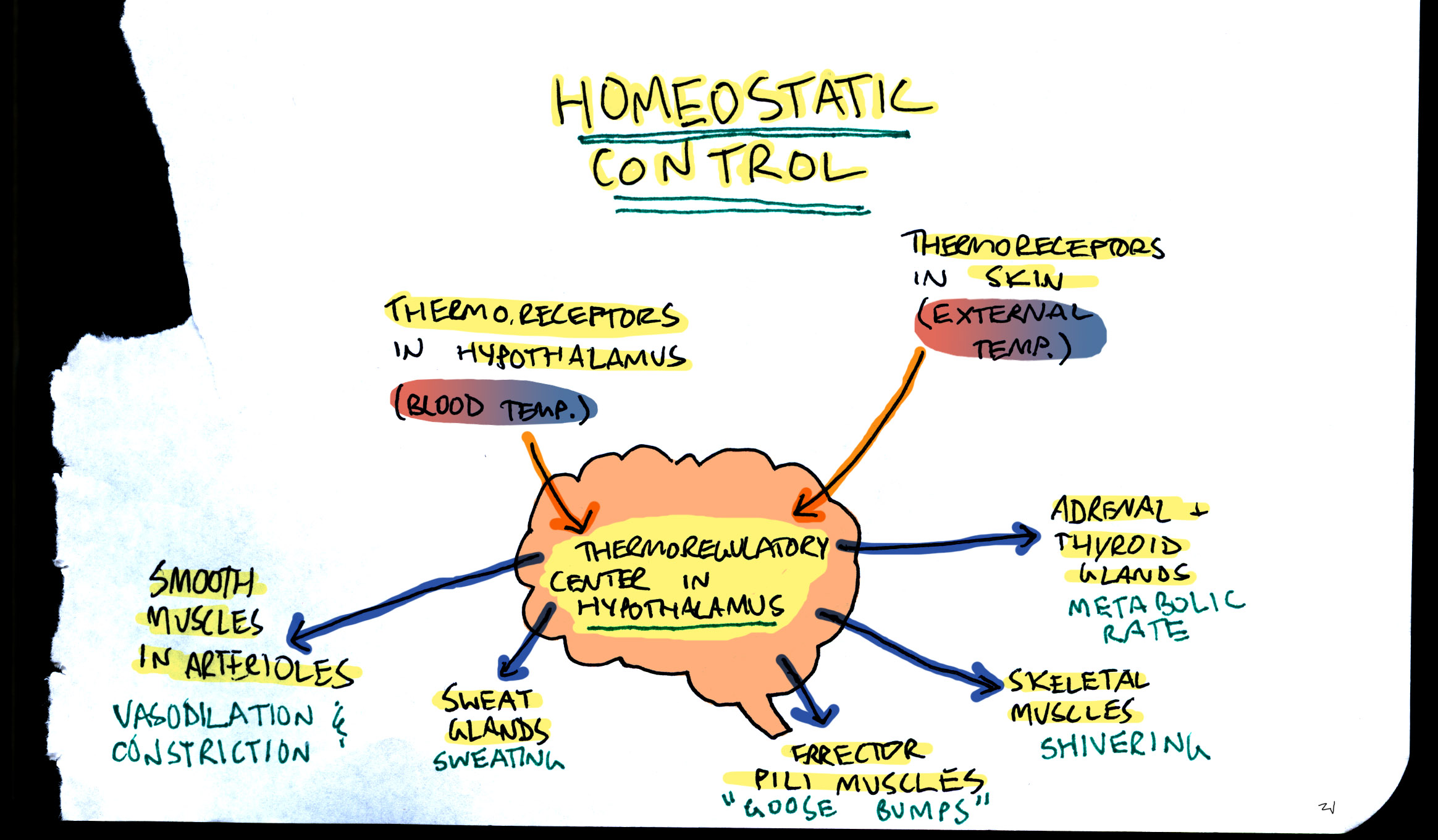 the importance of homeostatic mechanisms in the body The importance of homeostatic regulation is great to the effect that without it our  body wouldn't  what is homeostatic mechanism for regulation of body  temperature i will illustrate my answer with an example of the external  temperature.
