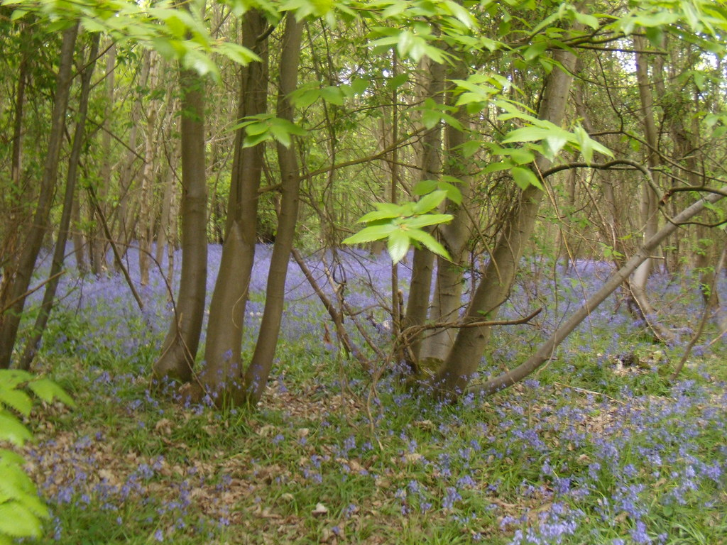 Bluebells Wakes Colne to Bures