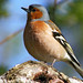 Common Chaffinch - Photo (c) Stefan Jansson, some rights reserved (CC BY-NC-SA)