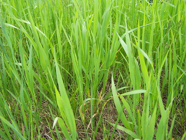 Tall Grass Texture | Flickr - Photo Sharing!