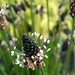 Ribwort Plantain - Photo (c) epicnom, some rights reserved (CC BY-NC)