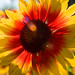 Sundance - Gaillardia pulchella - Garry Point