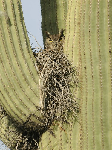 Great-horned Owl on nest in Saguaro